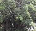 arbre a cairns