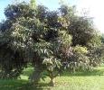 arbre a litchee