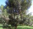 arbre a macadamia