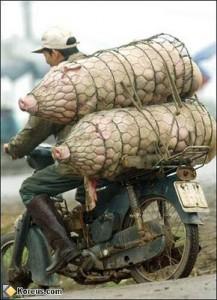 cochon-moto-chine