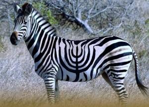 zebreu